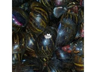 Snails in Enugu