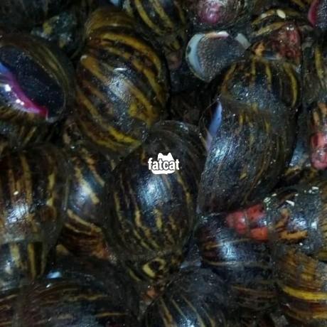 Classified Ads In Nigeria, Best Post Free Ads - snails-in-enugu-big-0