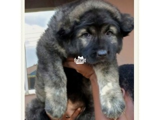 Caucasian Puppies in Abuja, FCT for Sale