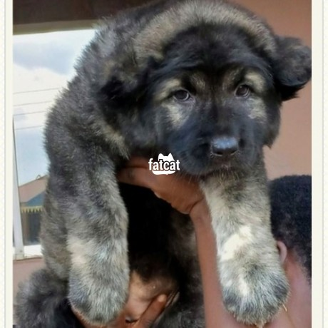 Classified Ads In Nigeria, Best Post Free Ads - caucasian-puppies-in-abuja-fct-for-sale-big-0