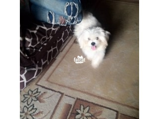 Lhasa Apso Dog in Agboyi/Ketu, Lagos for Sale