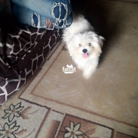 Classified Ads In Nigeria, Best Post Free Ads - lhasa-apso-dog-in-agboyiketu-lagos-for-sale-big-0