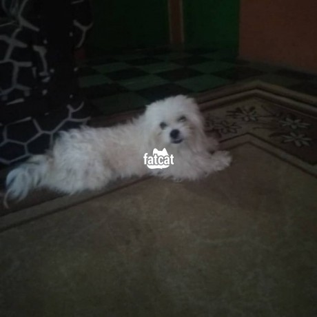 Classified Ads In Nigeria, Best Post Free Ads - lhasa-apso-dog-in-agboyiketu-lagos-for-sale-big-1