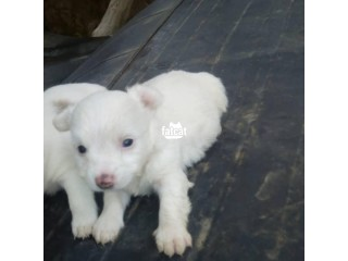 American Eskimo Puppies in Abuja, FCT for Sale