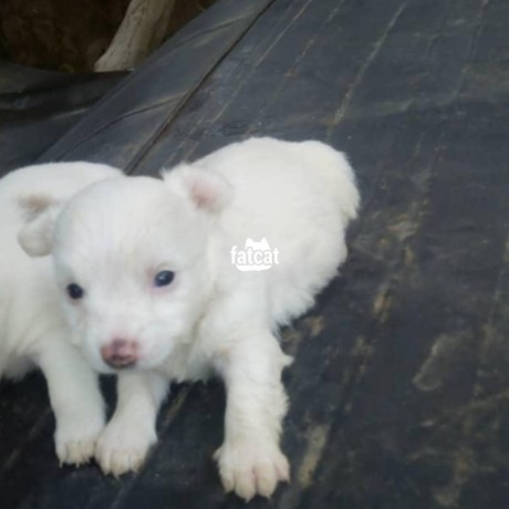 Classified Ads In Nigeria, Best Post Free Ads - american-eskimo-puppies-in-abuja-for-sale-big-0