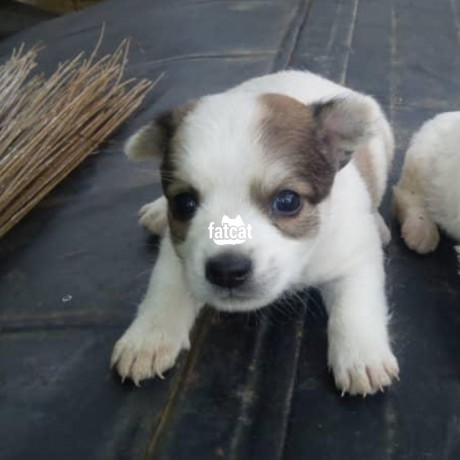 Classified Ads In Nigeria, Best Post Free Ads - american-eskimo-puppies-in-abuja-for-sale-big-1