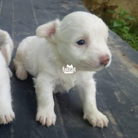 Classified Ads In Nigeria, Best Post Free Ads - american-eskimo-puppies-in-abuja-for-sale-big-2