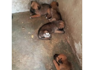 Mixed Breed Puppies in Abuja  for Sale
