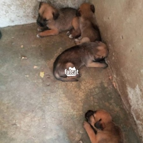 Classified Ads In Nigeria, Best Post Free Ads - mixed-breed-puppies-in-abuja-for-sale-big-0