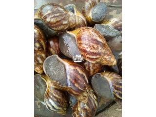 Snails in Lagos for Sale
