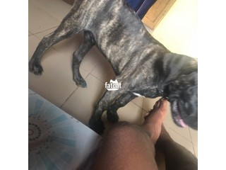 Boerboel Dog in Ekpoma, Edo for Sale