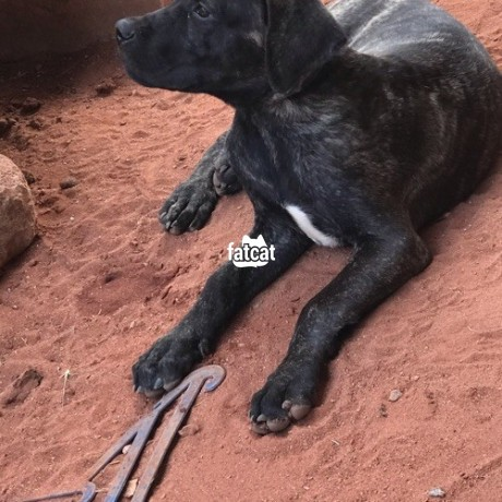 Classified Ads In Nigeria, Best Post Free Ads - boerboel-dog-in-ekpoma-edo-for-sale-big-1