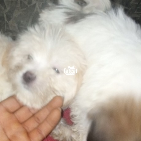Classified Ads In Nigeria, Best Post Free Ads - lhasa-apso-puppies-big-4