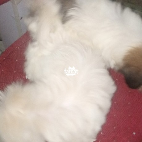 Classified Ads In Nigeria, Best Post Free Ads - lhasa-apso-puppies-big-1