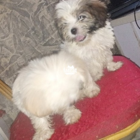 Classified Ads In Nigeria, Best Post Free Ads - lhasa-apso-puppies-big-2