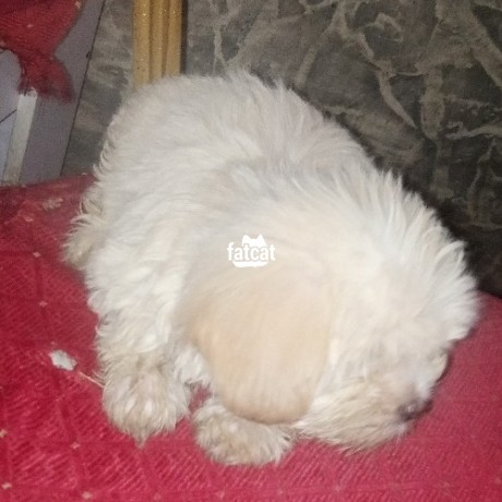 Classified Ads In Nigeria, Best Post Free Ads - lhasa-apso-puppies-big-0