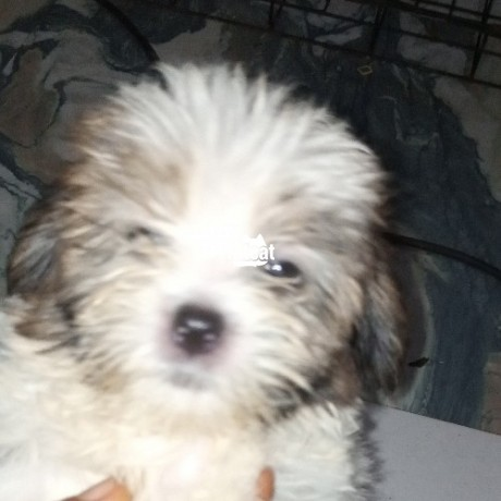 Classified Ads In Nigeria, Best Post Free Ads - lhasa-apso-in-abuja-for-sale-big-1