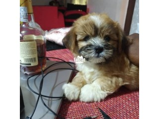 Lhasa Apso puppy Agege, Lagos for Sale