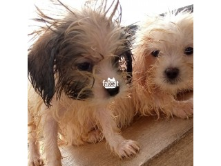 Lhasa Apso Dog Lagos Island, Lagos for Sale