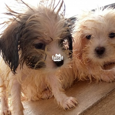 Classified Ads In Nigeria, Best Post Free Ads - lhasa-apso-dog-lagos-island-lagos-for-sale-big-0