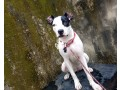 pregnant-american-pitbull-terrier-in-ajah-lagos-for-sale-small-0