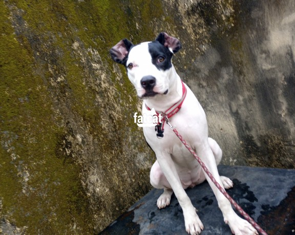 Classified Ads In Nigeria, Best Post Free Ads - pregnant-american-pitbull-terrier-in-ajah-lagos-for-sale-big-0