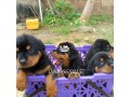 box-head-rottweiler-puppies-in-ibadan-oyo-for-sale-small-1