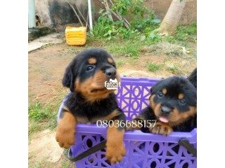 Box Head Rottweiler Puppies in Ibadan, Oyo for Sale