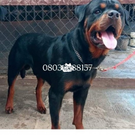 Classified Ads In Nigeria, Best Post Free Ads - box-head-rottweiler-puppies-in-ibadan-oyo-for-sale-big-3