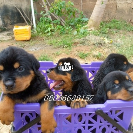 Classified Ads In Nigeria, Best Post Free Ads - box-head-rottweiler-puppies-in-ibadan-oyo-for-sale-big-1