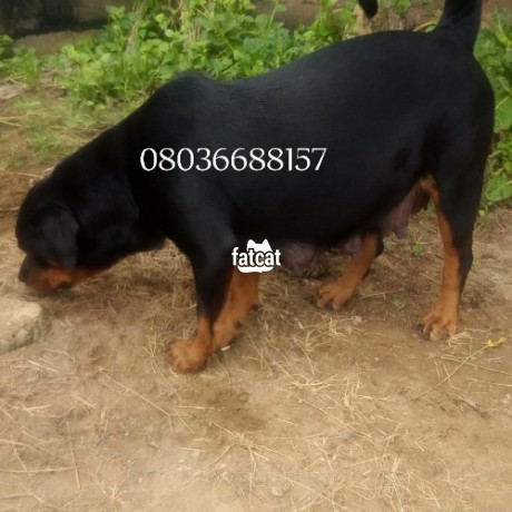 Classified Ads In Nigeria, Best Post Free Ads - box-head-rottweiler-puppies-in-ibadan-oyo-for-sale-big-2