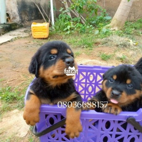 Classified Ads In Nigeria, Best Post Free Ads - box-head-rottweiler-puppies-in-ibadan-oyo-for-sale-big-0