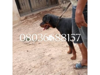Male adult box head rottweiler Ibadan, Oyo for Sale