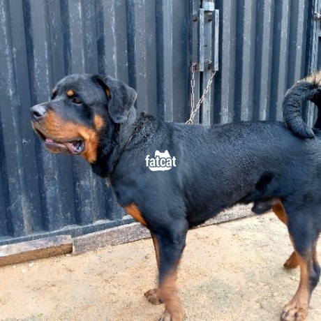 Classified Ads In Nigeria, Best Post Free Ads - male-adult-box-head-rottweiler-ibadan-oyo-for-sale-big-1