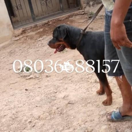 Classified Ads In Nigeria, Best Post Free Ads - male-adult-box-head-rottweiler-ibadan-oyo-for-sale-big-0