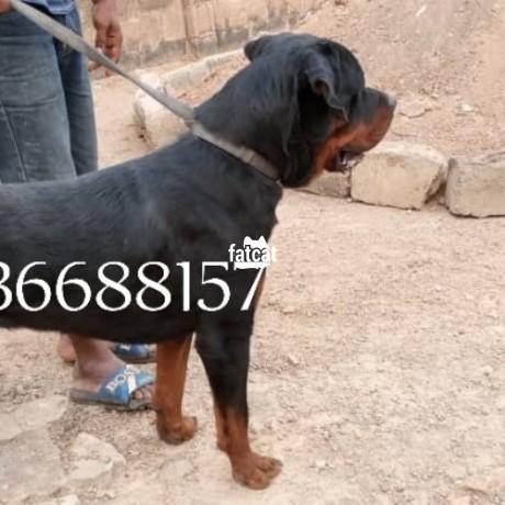 Classified Ads In Nigeria, Best Post Free Ads - male-adult-box-head-rottweiler-ibadan-oyo-for-sale-big-2