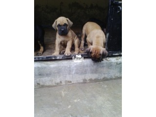 Pure BULL MASTIFF Dog/Puppy