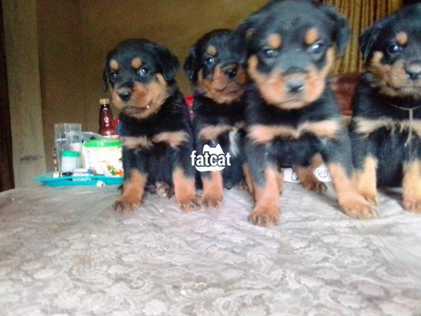 Classified Ads In Nigeria, Best Post Free Ads - rottweiler-puppies-big-0