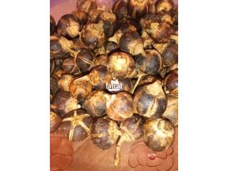 Gorontula Seeds